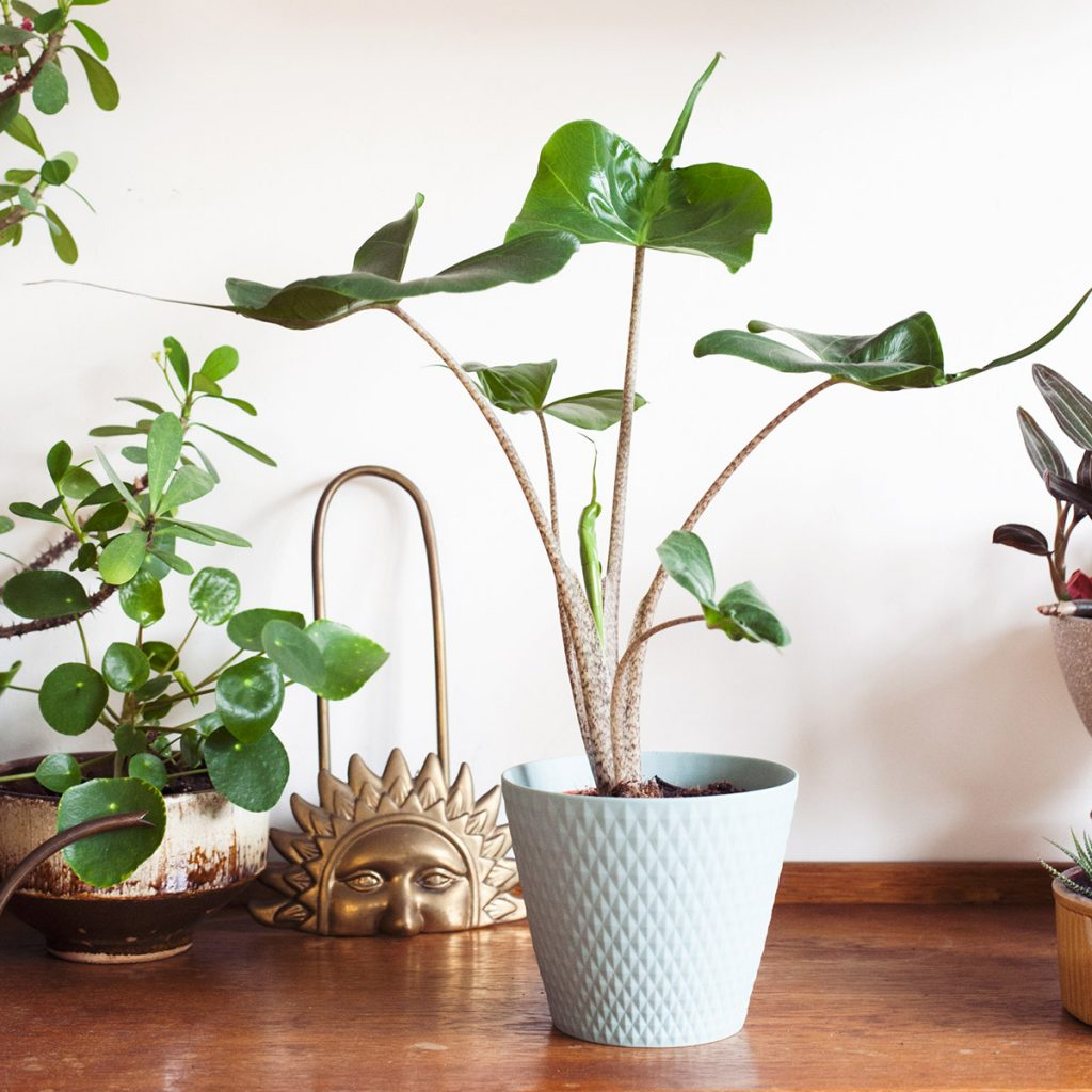 comprar planta